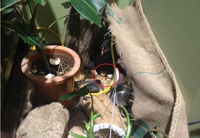 ニワトリが卵を温めている画像