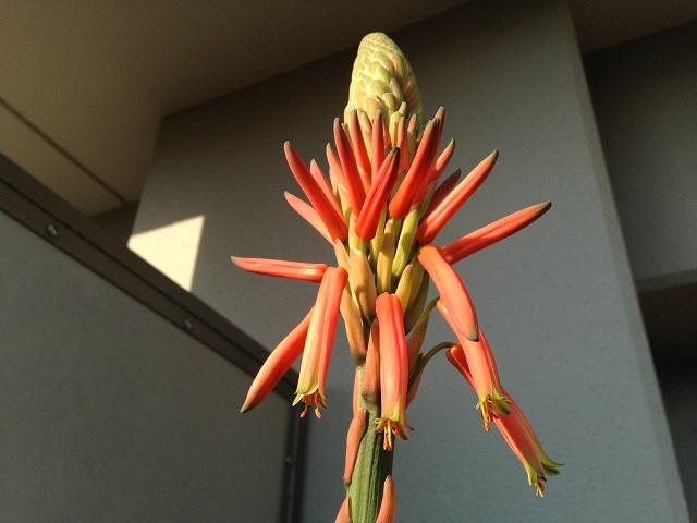 アロエの花の画像2