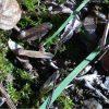 モミジを種から育てる