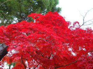 仁和寺の紅葉5