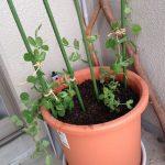 エンドウ豆の育て方